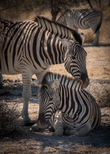 Close-up Of Two Zebras In The...