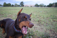 Brown Doberman For Walks In Th...