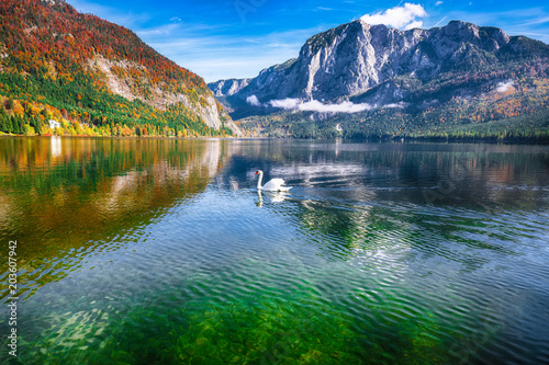 Tuinposter Meer / Vijver Sunny morning and swan on the lake Altausseer See Alps Austria Europe