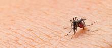 Aedes Aegypti Mosquito. Close ...