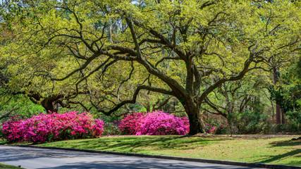 Vrt Azalea u proljeće - Južna Karolina s živim hrastovima