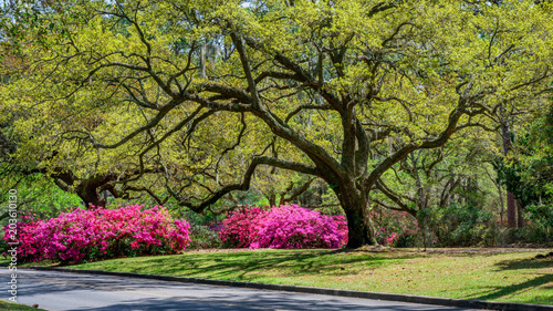 Tuinposter Azalea Azalea Garden in Spring - South Carolina with Live Oaks