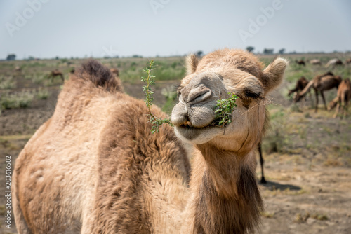 Fotobehang Kameel Portrait of an Indian Dromedary Camel Standing in Front of a Herd of Camels in the Thar Desert