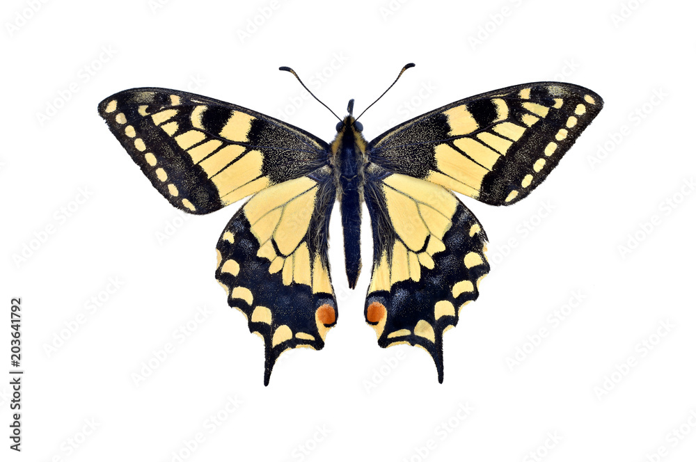 Old world swallowtail butterfly (Papilio Machaon), isolated on white
