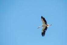 Portrait Of Stork Flying On Bl...