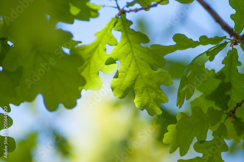 closeup of sunlight in oak leaves