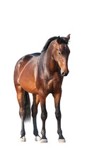 Bay Horse Standing Isolated On...