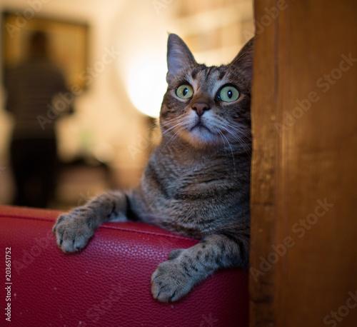 Gatto di casa gioca sulla poltrona Canvas Print