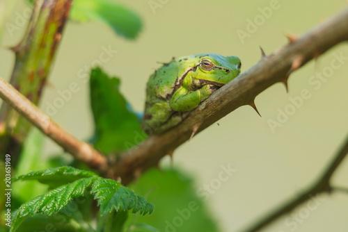 Aluminium Prints Chameleon European tree frog (Hyla arborea) on stem of blackberry bush.