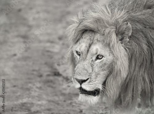 Foto op Plexiglas Leeuw Lion Close Up B&W