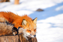 Sleepy Red Fox In Winter Snow