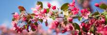 Web Banner With Pink Flower Cherry Blossom Against A Blue Sky During Springtime