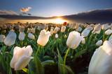 Fototapeta Tulipany - warm sunshine over white tulip field