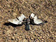 Dead Bird With Open Wings And ...