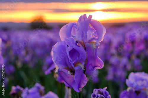 Spoed Foto op Canvas Iris Iris pallida sur le champ, gros plan. Provence, France. Lever de soleil.