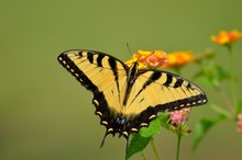 Swallowtail  Butterfly In The Wild