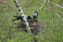 Crows Feeds Baby Birds