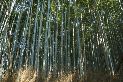 Tuinposter Bamboo Bamboo forest at Kyoto, Japan