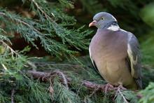 Ring-necked Wild Dove Sitting ...