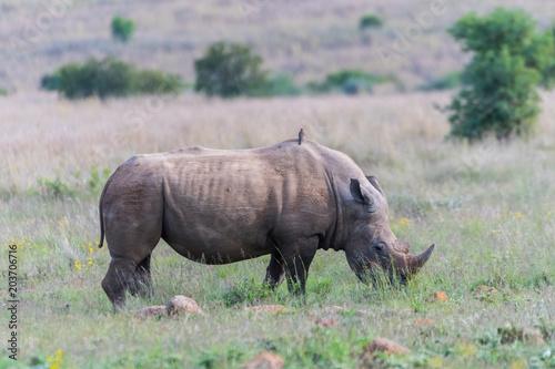 Poster Neushoorn Rhino grazing in the savannah
