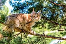Maine Coon Kitten Sitting On T...