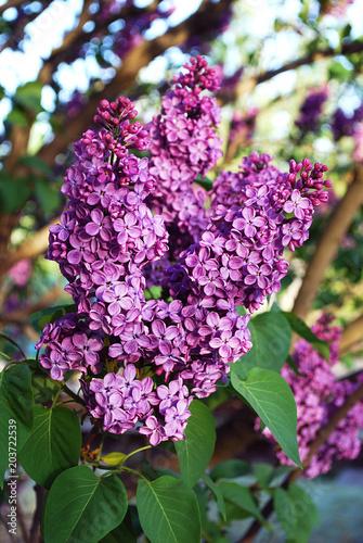 Foto op Aluminium Lilac ветка сирени