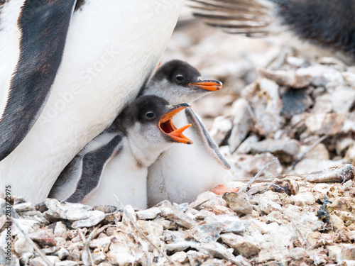 In de dag Pinguin Gentoo penguin, Pygoscelis papua, chick begging for food by screaming with open beak, Antarctica