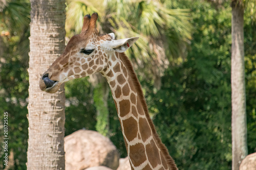 Giraffe at Zoo Poster
