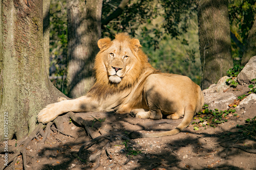 Foto op Plexiglas Leeuw Lion in the Sunrise