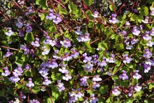 Tiny Purple Flowers Bloom Vine Plant In Late Spring