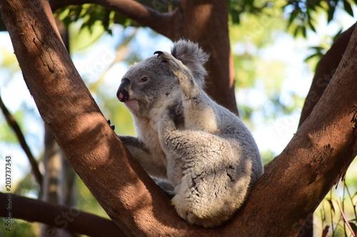 Foto op Canvas Koala Lazy Koala
