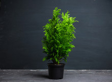Green Little Thuja In Pot. Sel...