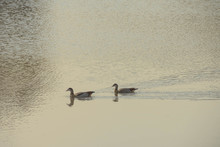 Pair Of Egyptian Geese Swimming