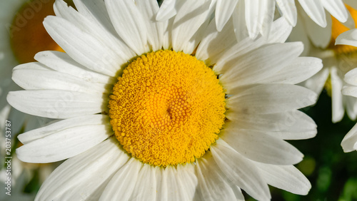 Foto op Canvas Madeliefjes Close-up of beautiful daisy flower