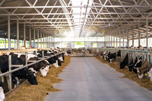 Cows To An Open Barn Are Eating Silage Corn From The Stern Table, While The Other Part Of The Herd Returns From Milking