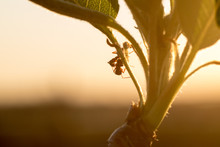 Beautiful Floral Abstract Background Of Nature. Two Ants Meet On Opening Pear Leaves In Front Of Sunset. They Hug & Kiss Each Other. Kiss Couple Love. For Spring Greeting Cards With Copy Space, Macro