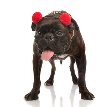 Adorable Boxer With Red Earmuf...