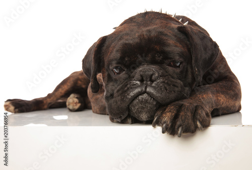 Deurstickers Franse bulldog depressed black boxer with spiked collar lying