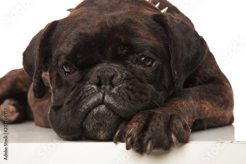 Deurstickers Franse bulldog head of cute little bored black boxer