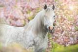 Fototapeta Konie - White horse in pink blossom trees