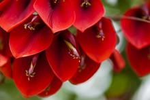 Natural Floral Background Of Erythrina Crista-galli