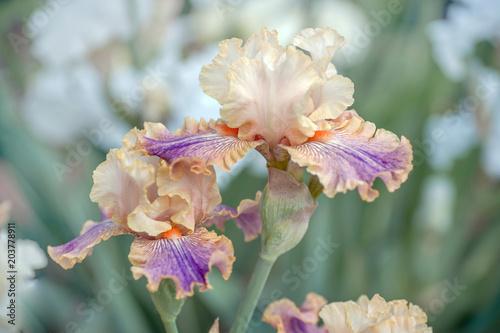 Foto op Canvas Iris Bloom of Iris Carnival of Color