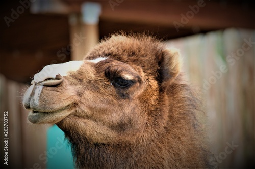 Foto op Plexiglas Kameel Funny Camel Face