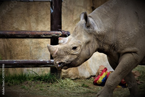 Keuken foto achterwand Neushoorn Strong Rhino Standing