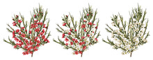 Chamaelaucium (waxflower) Red ...