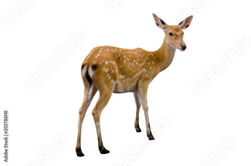 Foto op Canvas Hert baby deer isolated in white background