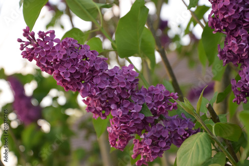 close up view of lilac in garden