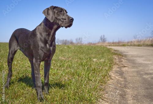 Fototapeta A beautiful great Dane puppy stands on a grassy field looking right obraz