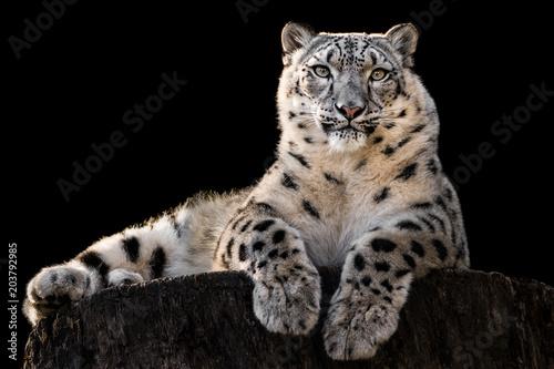 Poster Leopard Sunbathing Snow Leopard III