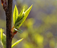 Branch Of A Tree With Buds Wit...